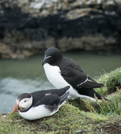 Puffin and Razorbill