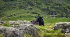 Free range cattle in Snowdonia National Park