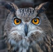 Hawk Own